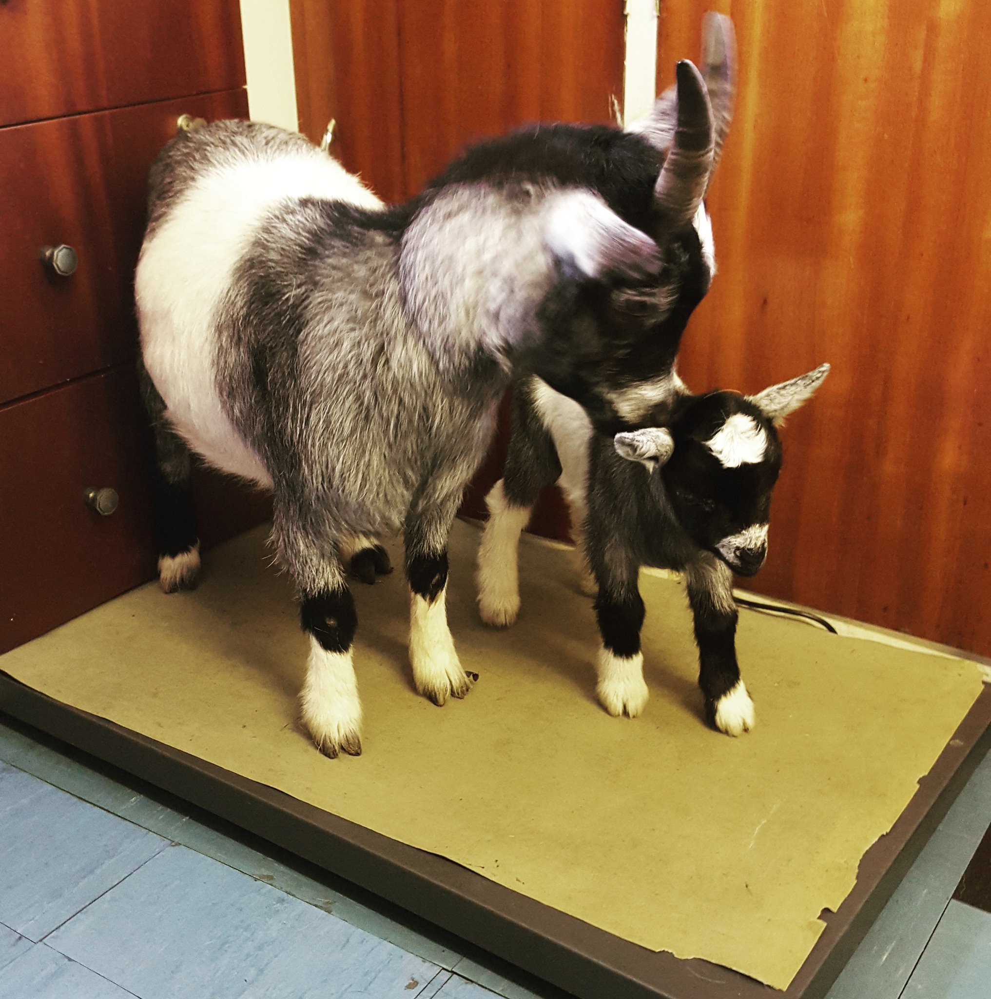 farm animal vet magherafelt goat